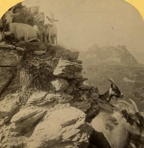 Switzerland Alps Goats Ziegen old Gabler Stereo Photo 1885