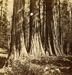 USA California Mammoth Trees Three Grace Old Popular Series Stereo Photo 1870