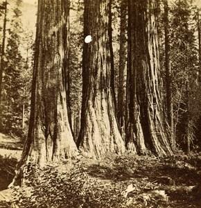 USA California Mammoth Trees Three Grace Old Popular Series Stereo Photo 1870