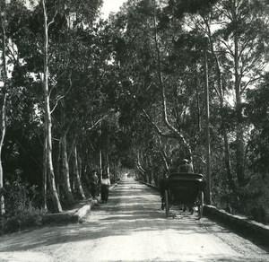 France Corse Porto Vecchio Allée d Eucalyptus ancienne photo stereo Amateur 1920