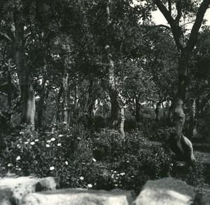 France Corse Porto Vecchio Bois de Chene Liege ancienne photo stereo Amateur 1920