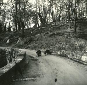 France Corse Col de Verde Sanglier dans la Chataigneraie de Ticavo ancienne photo stereo 1920