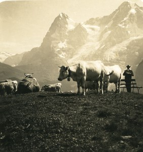 Switzerland Murren Eiger Cows Old Werhli Stereo Photo 1906