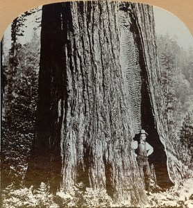 USA California Red Wood Tree Old Stereo Photo Stereoview Graves 1900