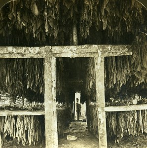 Jamaica May Pan Tobacco Leaves in Drying Shed Old Stereo Photo HC White 1900