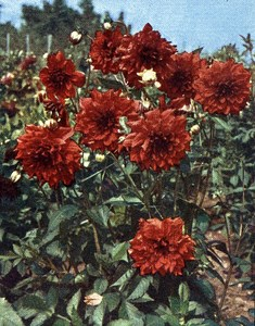 Germany Dahlia Flower Old Autochrome on Paper from Hans Hildenbrand 1910