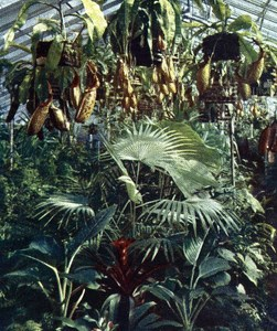 Germany Nepenthes Green House Autochrome on Paper from Hans Hildenbrand 1910