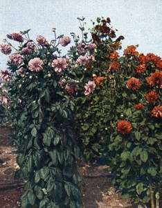 Germany Stuttgart Dahlias Old Autochrome on Paper from Hans Hildenbrand 1910