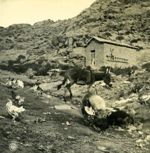 Argentina Andes Chicken Dog & Mule Old NPG Stereo Stereoview Photo 1900