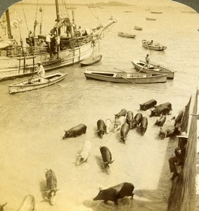 Panama City Harbor Pigs for the Market Old Stereoview Photo Underwood 1904