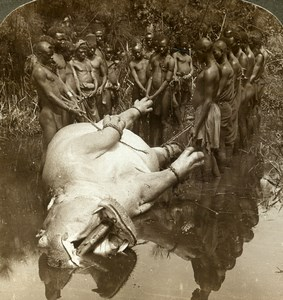 Equatorial Africa Nyanza Hippopotamus Hunters Stereoview Photo Underwood 1909