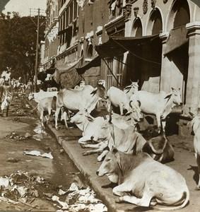 India Calcutta Hindu Sacred Cows Street Scene Stereoview Photo Underwood 1903