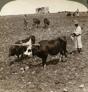 Palestine Valley of Ajalon Ox Plowing Field Old Stereoview Photo Underwood 1900