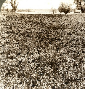 Palestine Plain of Sharon Roses Field Old Stereoview Photo Underwood 1900
