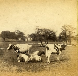 England Cows in Field Animals Rural & Pastoral Scenes Old Stereoview Photo 1880