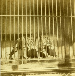 Netherlands Rotterdam Zoo Diergaarde Blijdorp Tiger Animals Old Stereoview 1890