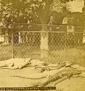 USA New York Central Park Zoo Alligators Animals Old Stereoview Photo 1896