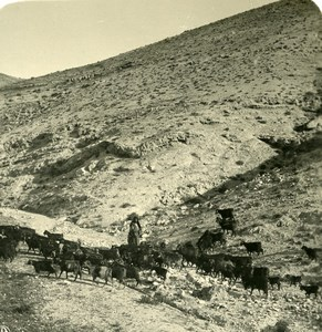 Middle East Palestine Herd of goats Old Stereo Photo NPG 1900
