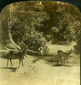 Forest glade in Old Japan Deer Doe Old White Stereoview Photo 1900