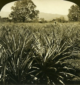 Jamaica a field of Pineapples Old White Stereoview Photo 1900