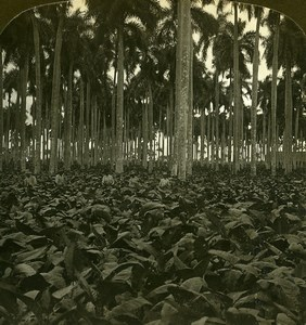 Cuba Havana Tobacco Field in Palm Grove Old White Stereoview Photo 1900