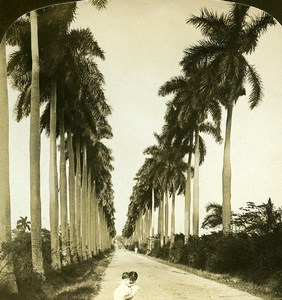 Cuba Havana avenue of Royal Palms Old White Stereoview Photo 1900