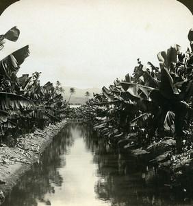 USA Hawaii Banana Plantation Irrigation Old White Stereoview Photo 1900