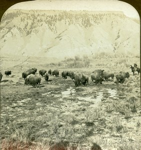 USA Yellowstone Park American Bison Herd Old Young Stereoview Photo 1900