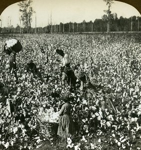 USA Mississippi Cotton picking Harvest Old Young Stereoview Photo 1900