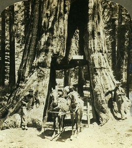 USA California Mariposa Grove of Giant Sequoias Old Young Stereoview Photo 1900