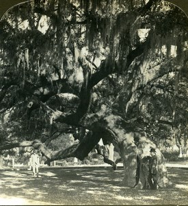 USA Georgia Savannah Giant Tree & Spanish Moss American Stereoscopic Photo 1900