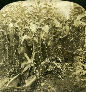 USA Connecticut Tobacco Picking at Granby Old White Stereoview Photo 1900