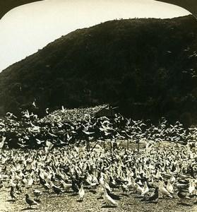 USA California Los Angeles Pigeon Farm Old White Stereoview Photo 1900