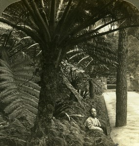 China beautiful Tree Ferns Old Young ASC Stereoview Photo 1900