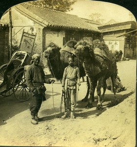 China Peking Beijing group of Camels Beast of Burden White Stereoview Photo 1900