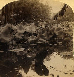Egypt The Lotus of the Nile Old Stereoview Photo Bierstadt Underwood 1900