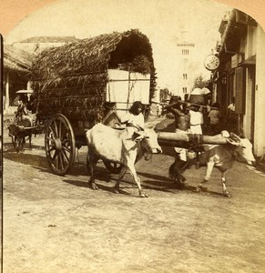 Ceylon Colombo street scene Ox Cart Old RY Young Stereoview Photo 1900