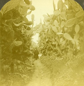 Palestine Cactus Avenue to the Well of Cana Old Stereoview Photo 1900