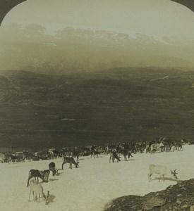 Norvege Hardangerjokulen Glacier Troupeau de Rennes ancienne photo stereo American Stereoscopic Co 1900