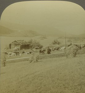 Norway Stranda Fjord Cows in field Old Photo Stereoview Excelsior 1900