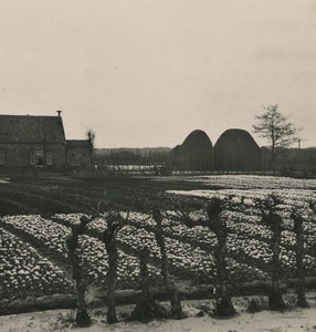 Netherlands Haarlem Tulip plantation Old NPG Stereoview Photo 1900 #1