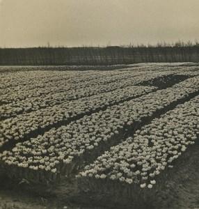 Netherlands Haarlem Tulip plantation Old NPG Stereoview Photo 1900 #2