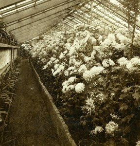 Germany Baden Baden Chrysanthemum Greenhouse Gustav Salzer Stereoview Photo 1899