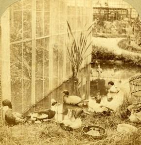 France Basse Cour et Voliere Series Duck Goose Old Furne et Tournier Photo 1860