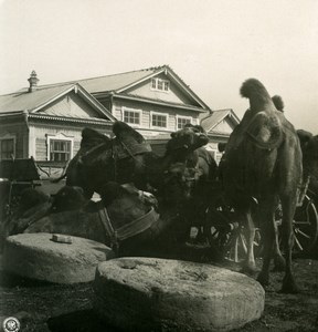Russia Volga the Volga Camels Group Old Photo Stereoview NPG 1906